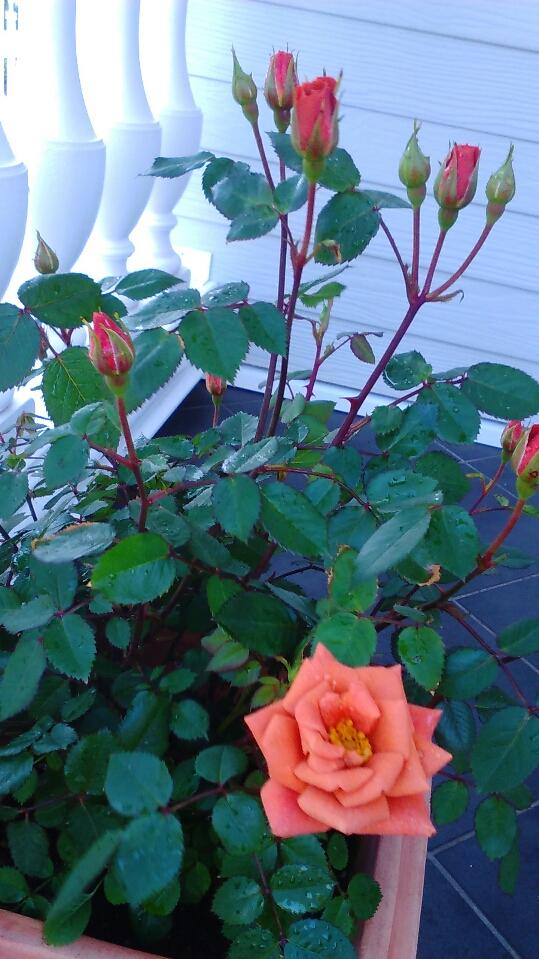 ミニバラ開花2