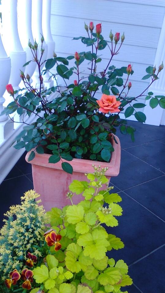 ミニバラ開花1