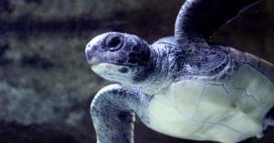 pアカウミガメの産卵地である徳島県の海岸に異変