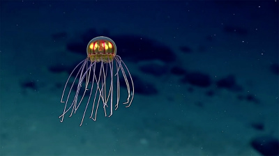 new-jellyfish-mariana-trench-1.jpg