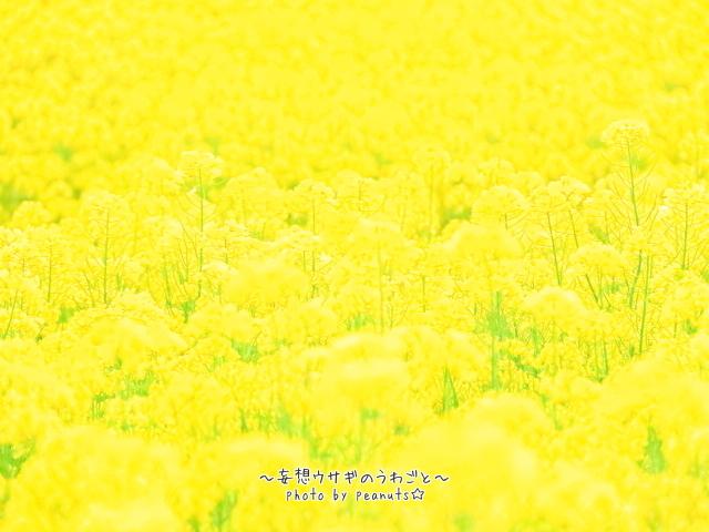 菜の花ファイト