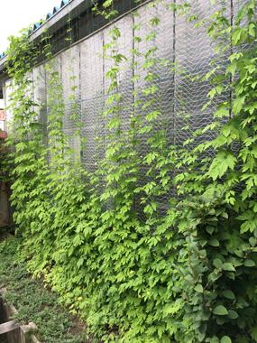 緑のカーテン ゴーヤ 豊川 花屋 花夢
