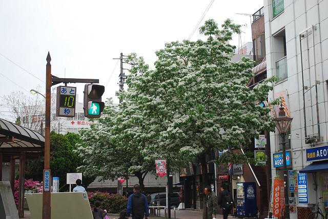 駅前のヒトツバタゴ