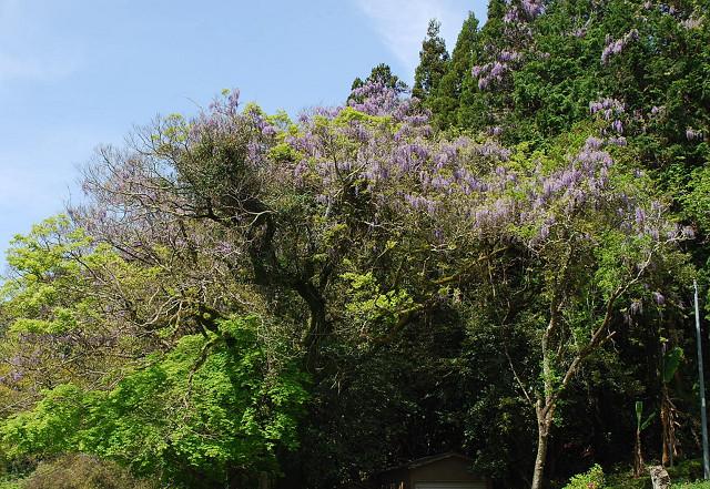 大空寺のフジの花が
