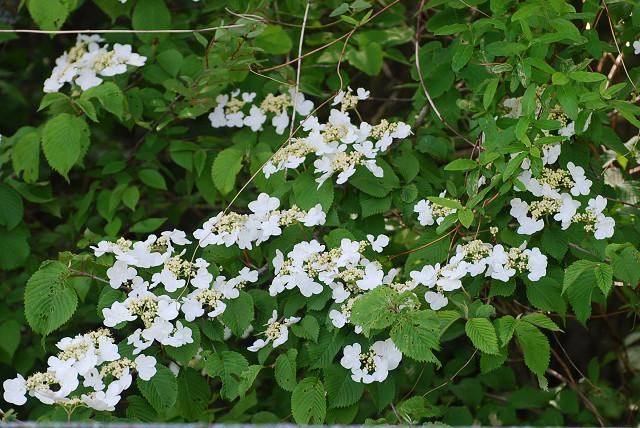 コバノガマズミの花1