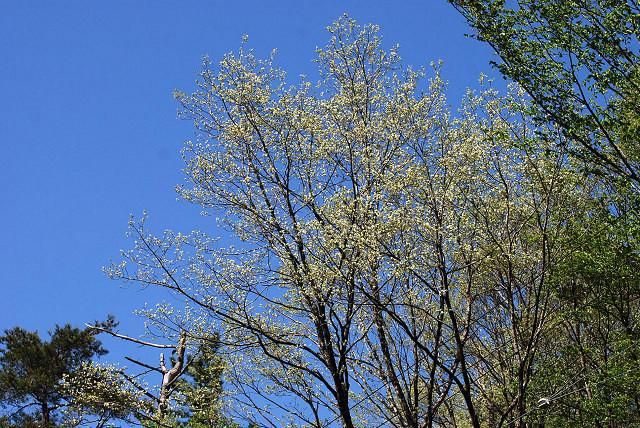 コナラの芽吹きが始まった