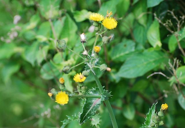 ノゲシの花は