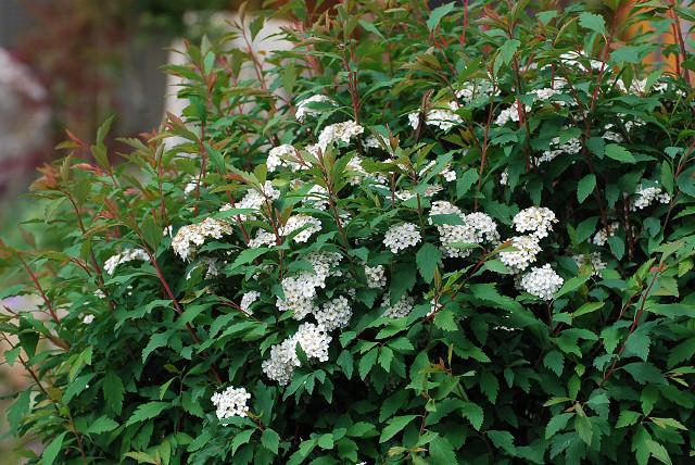 コデマリの花は