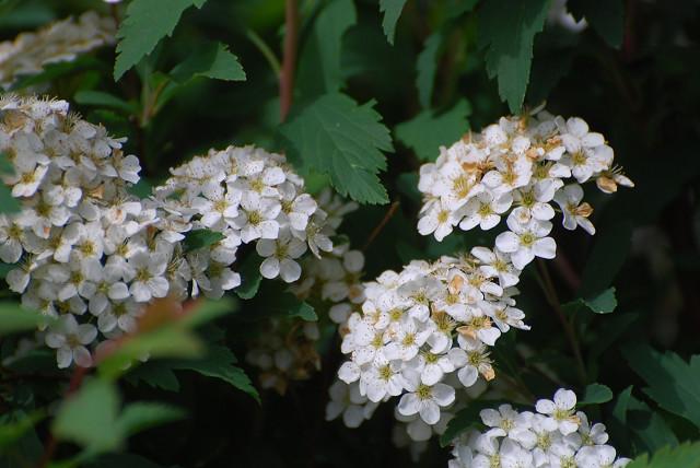 コデマリの花アップ