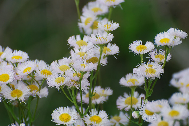 ハルジオンの花は