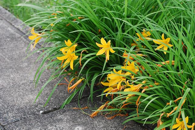 キツネノカミソリの黄色い花が