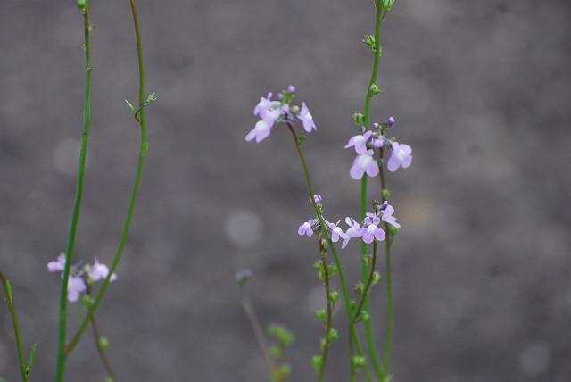 マツバウンランの弱々しい花