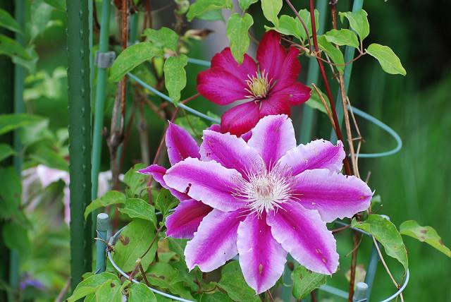テッセンの花の色が
