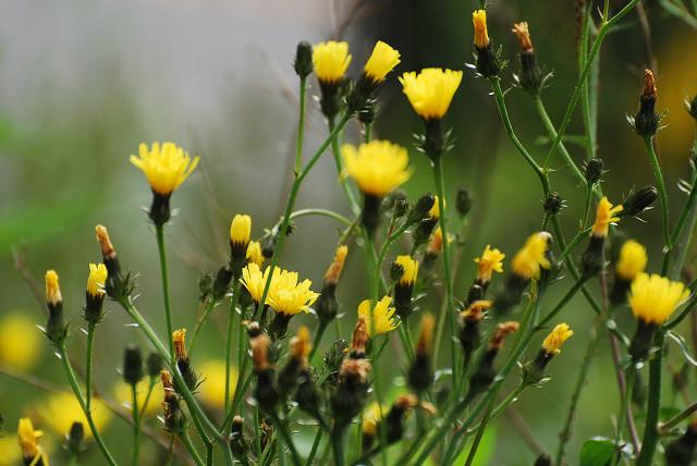コウゾリナの頭花