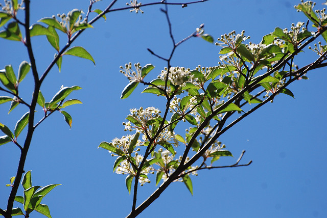 コバノガマズミの白い花が