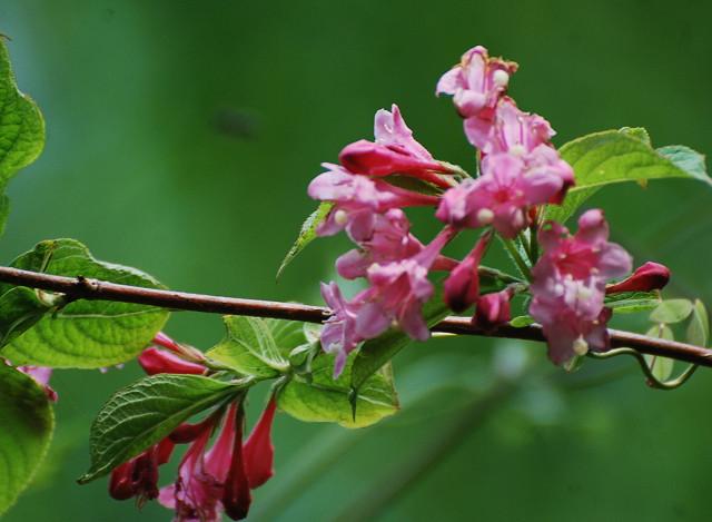 タニウツギの花1