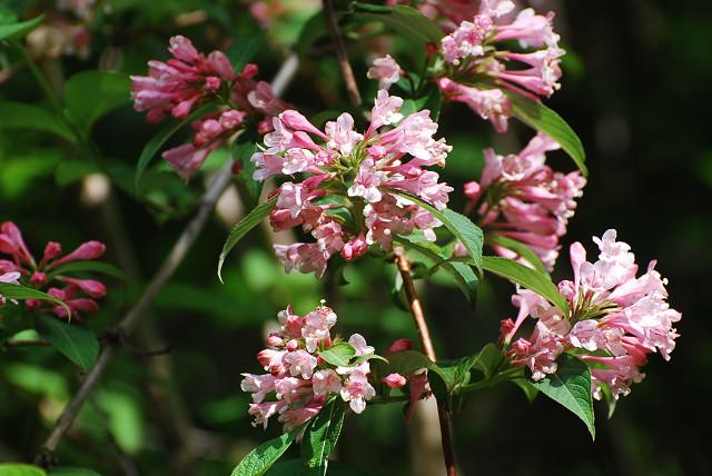 タニウツギの花2