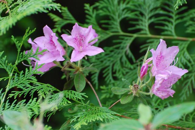 モチツツジのピンクの花が