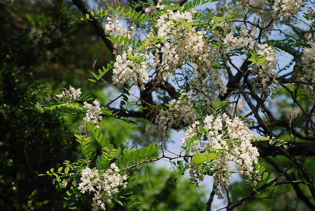 ニセアカシヤの花をアップ