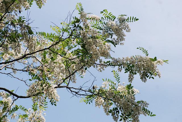 葉が少ないニセアカシヤ