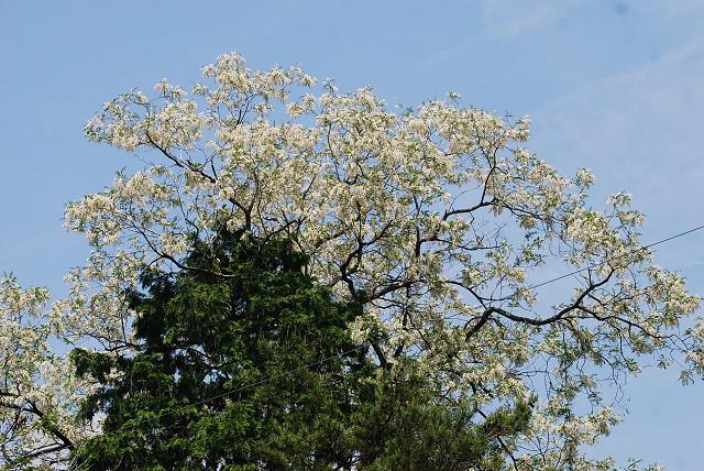 ハリエンジュの巨木が