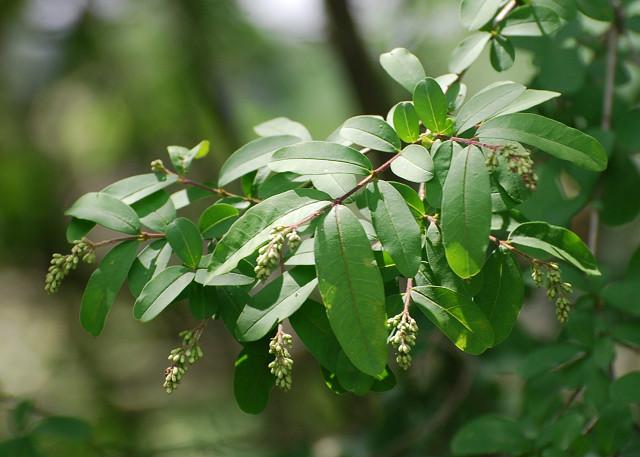 イボタノキの花芽が