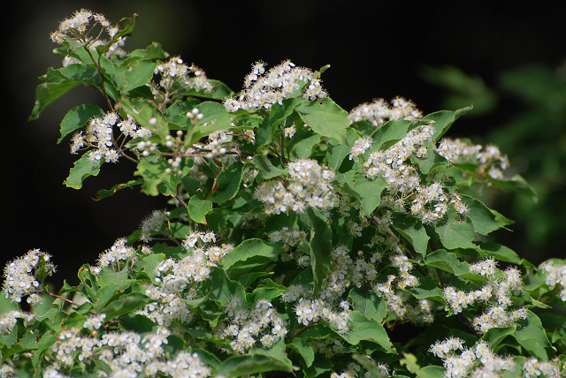 コバノガマズミの花がいっぱい
