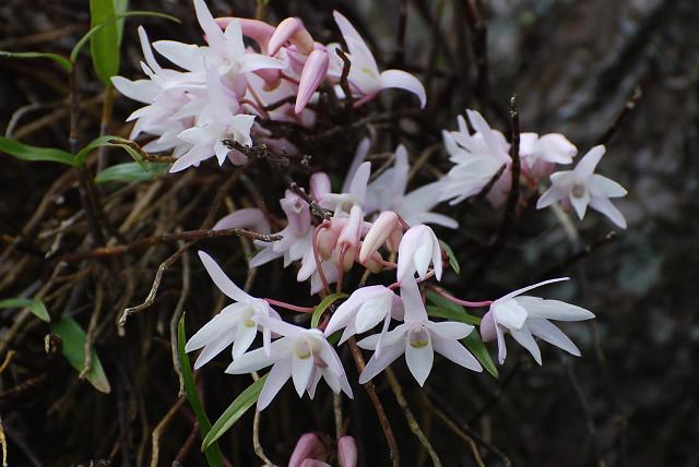 モッコクの花は美しい