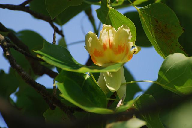 中総のユリノキの花1