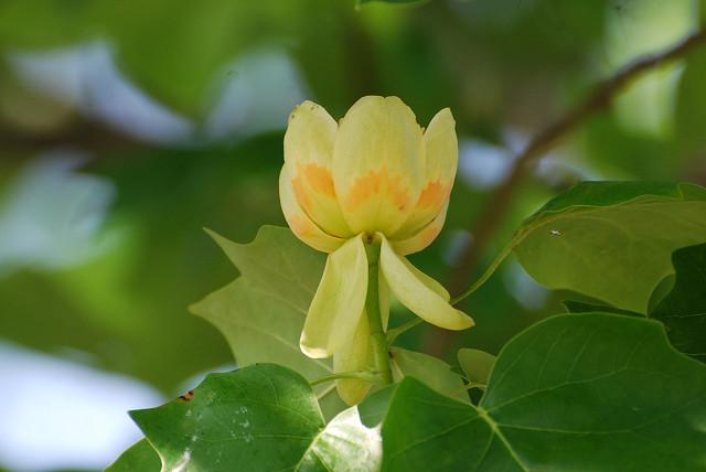 中総のユリノキの花2