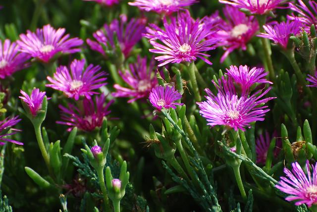 マツバギクの花が