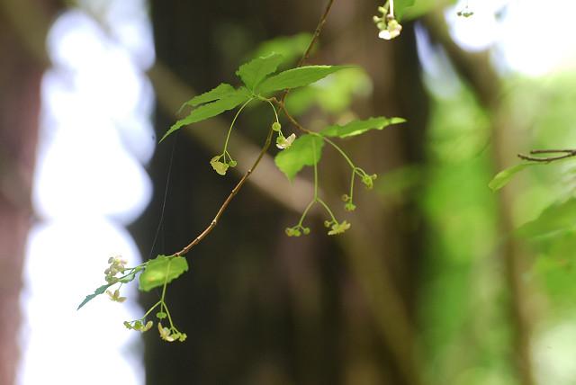 サワダツの花が垂れ