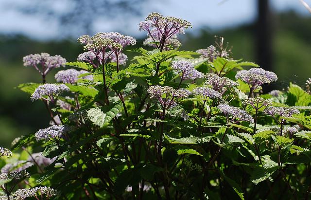 コアジサイの花がきれい