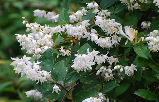 ウツギの花(別名卯の花)
