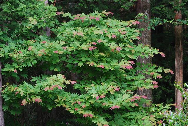 シロモジに先端の葉が赤い