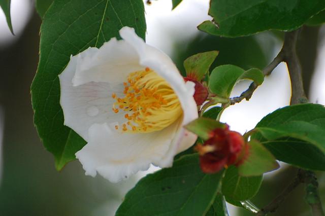 ナツツバキの花が咲き