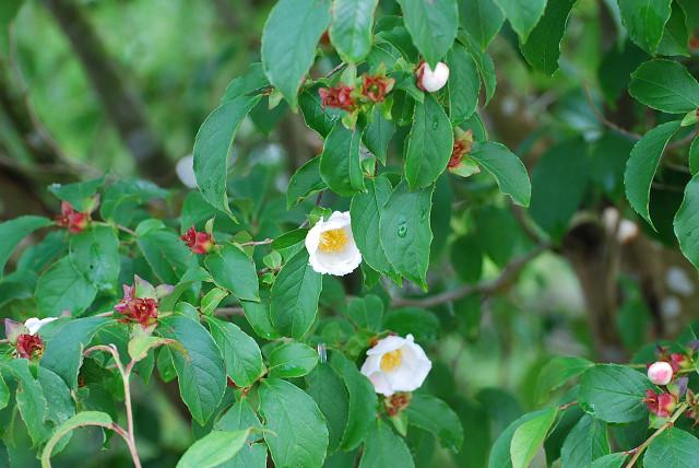 ナツツバキの花はきれい