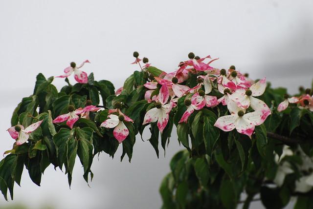 花弁が赤いヤマボウシ