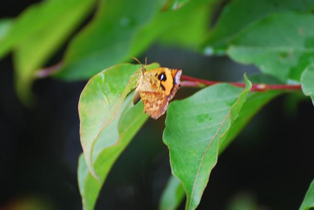 イカリモンガが葉に