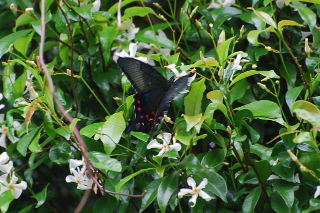 テイカカズラの花にジャコウアゲハ