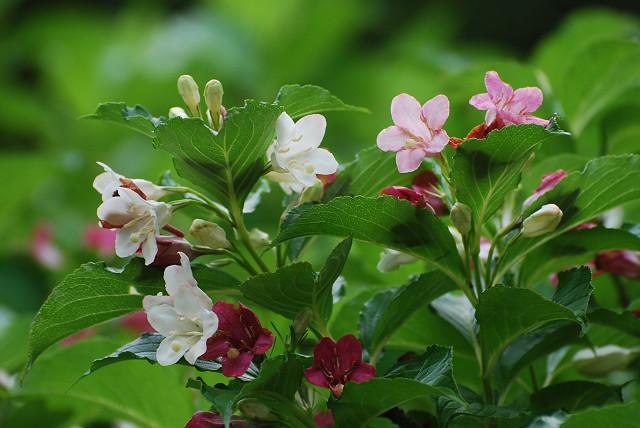 ハコネウツギの花がきれい