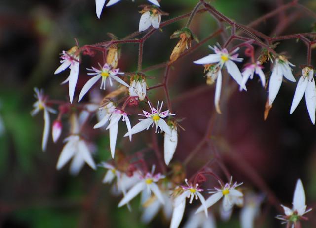 ユキノシタの花は美しい