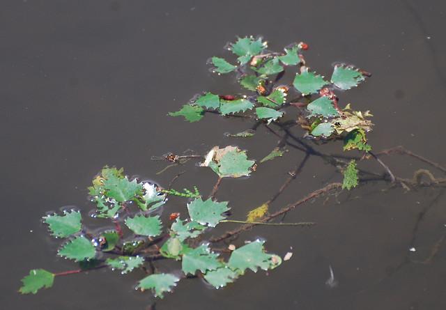 池にヒシが