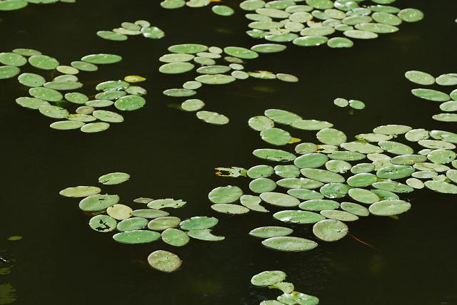 池にジュンサイがいっぱい