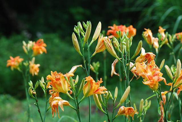 ヤブカンゾウの花がきれい