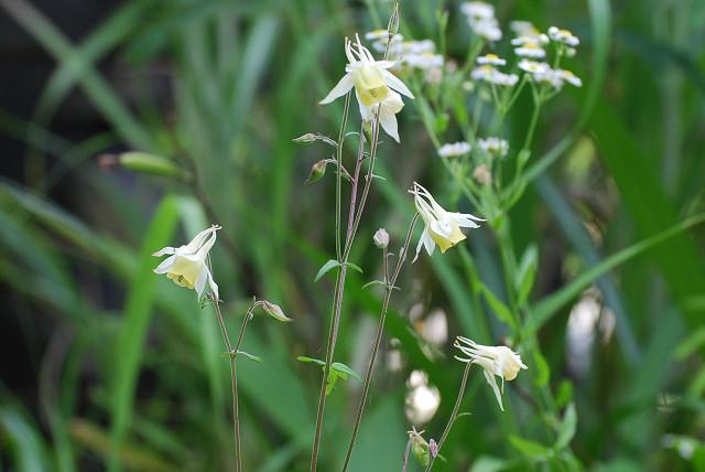 庭のヤマオダマキ