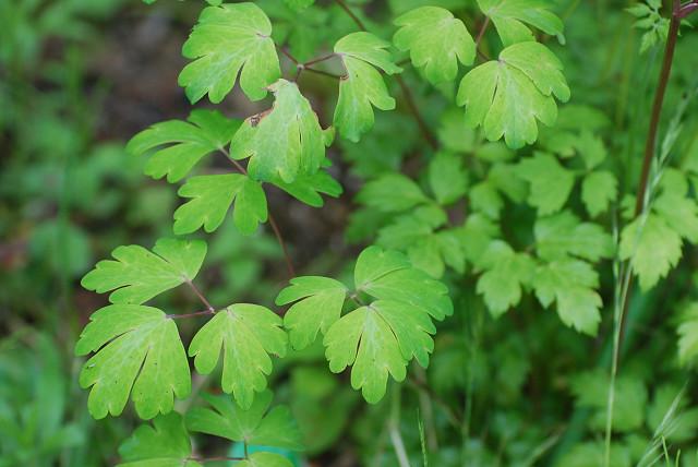 ヤマオダマキの葉