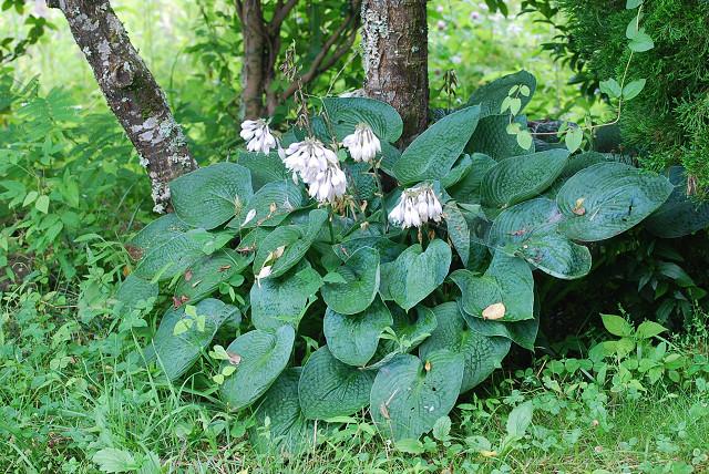 オオバギボウシに花が