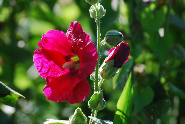 アオイの赤い花は