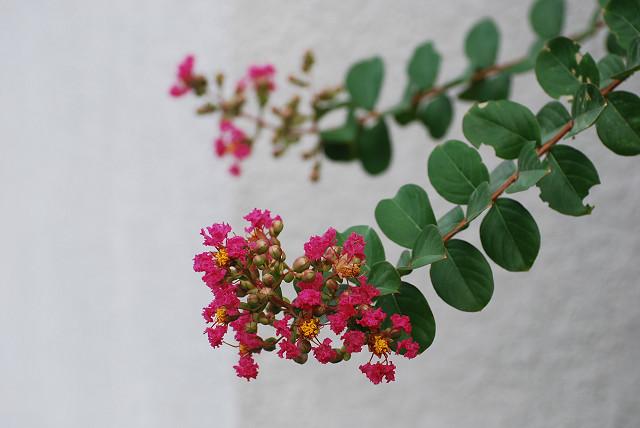 サルスベリの赤い花